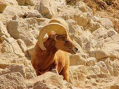 [desert bighorn sheep]